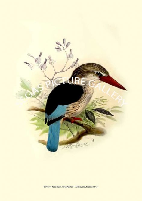 Fine art print of the Brown-Hooded Kingfisher - Halcyon Albiventris by  the artist Johannes Gerardus Keulemans (1868-1871)